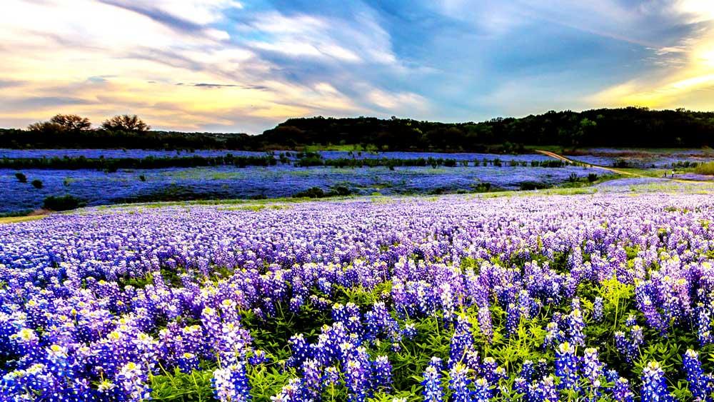 Field of Bluebonnets in Dallas Texas